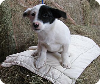 Border Collie Mix Puppy for adoption in Bedminster, New Jersey - Percy