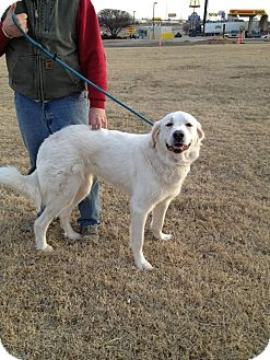 Great Pyrenees Dog for adoption in Astoria, New York - Anna