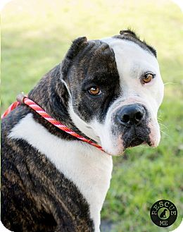 Staffordshire Bull Terrier/American Pit Bull Terrier Mix Dog for adoption in El Campo, Texas - Danie