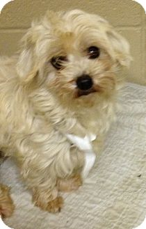 Coton de Tulear Dog for adoption in Fairview Heights, Illinois - Cinderella