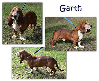 Basset Hound Mix Dog for adoption in Marietta, Georgia - Garth