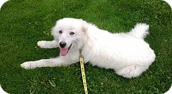 Great Pyrenees Mix Dog for adoption in Pittsburgh, Pennsylvania - Miles