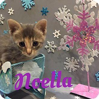 Domestic Mediumhair Kitten for adoption in Houston, Texas - Noella