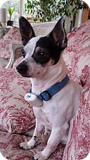 Chihuahua/Toy Fox Terrier Mix Dog for adoption in Newtown, Connecticut - Toby