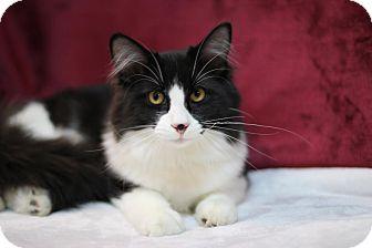 Domestic Longhair Cat for adoption in Midland, Michigan - Mandalay