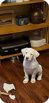 Labrador Retriever Puppy for adoption in Austin, Texas - Puppy Conan