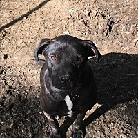 American Pit Bull Terrier/Labrador Retriever Mix Dog for adoption in Staunton, Virginia - Ricky