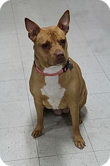 American Staffordshire Terrier Mix Dog for adoption in Manitowoc, Wisconsin - Charms