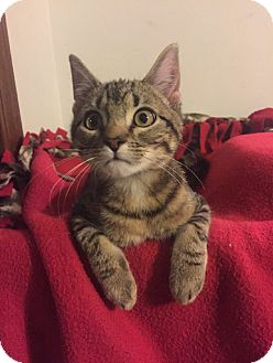 Domestic Shorthair Kitten for adoption in Overland Park, Kansas - Simon