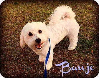 Bichon Frise/Poodle (Miniature) Mix Puppy for adoption in Phoenix, Arizona - BANJO