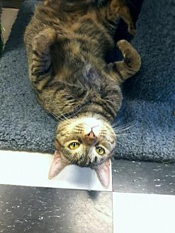 Domestic Shorthair Cat for adoption in Leonardtown, Maryland - LuLu