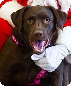 Labrador Retriever Dog for adoption in Hockessin, Delaware - Gidget