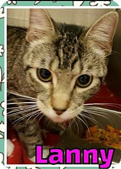 Domestic Shorthair Cat for adoption in Taylor, Michigan - LANNY
