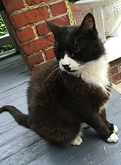 Domestic Shorthair Cat for adoption in Richmond, Virginia - Groucho