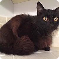 Maine Coon Cat for adoption in Merrifield, Virginia - Emma
