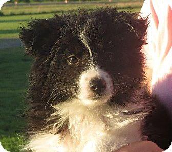 Sheltie, Shetland Sheepdog/Eskimo Spitz Mix Puppy for adoption in Rochester, New York - Bella