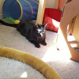 Domestic Shorthair/Domestic Shorthair Mix Cat for adoption in Spruce Grove, Alberta - Olivia