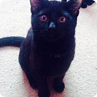 Domestic Shorthair Kitten for adoption in Columbus, Ohio - Red