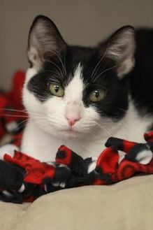 Domestic Shorthair/Domestic Shorthair Mix Cat for adoption in Madison, Wisconsin - Satsuki