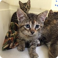 Adopt A Pet :: Bellatrix - Trexlertown, PA