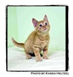 Domestic Shorthair Kitten for adoption in Warren, Pennsylvania - King