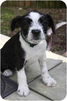 Terrier (Unknown Type, Small) Mix Puppy for adoption in Newburgh, Indiana - Reo