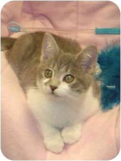 Domestic Shorthair Kitten for adoption in San Diego, California - Ophelia