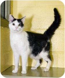 Domestic Shorthair Kitten for adoption in Dayton, Ohio - Aeneas