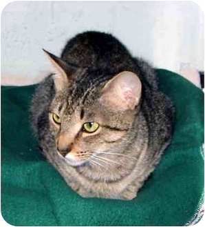 Domestic Shorthair Cat for adoption in San Diego/North County, California - Tiger