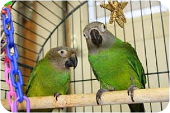 Conure for adoption in Blairstown, New Jersey - Mowglie and Tahiti