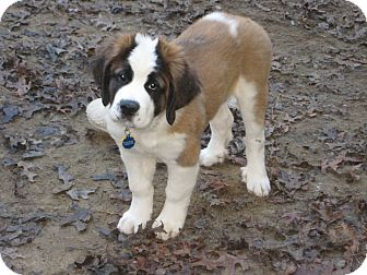 St. Bernard Puppy for adoption in Sudbury, Massachusetts - HANK