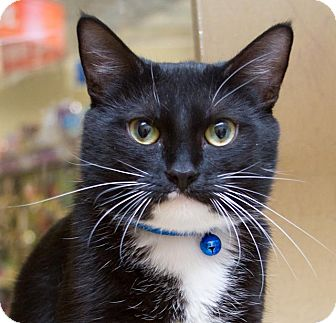 Domestic Shorthair Cat for adoption in Irvine, California - Aaliyah