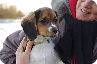 Terrier (Unknown Type, Small)/Beagle Mix Puppy for adoption in Elyria, Ohio - LadyBug
