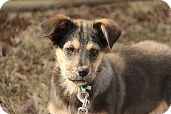 German Shepherd Dog/Husky Mix Puppy for adoption in Hagerstown, Maryland - Chelsey