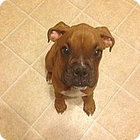 Adopt A Pet :: Vader - St. Robert, MO
