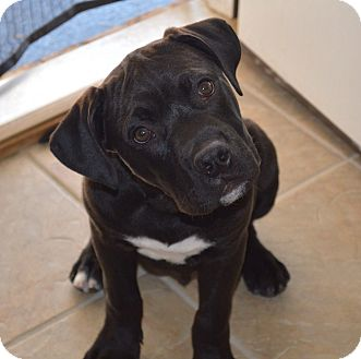 Boxer Mix Puppy for adoption in Marshfield, Massachusetts - Lido-adoption pending