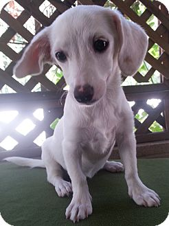 Dachshund/Jack Russell Terrier Mix Puppy for adoption in Santa Ana, California - Ruth
