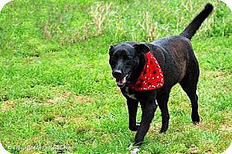 Labrador Retriever Mix Dog for adoption in Elizabeth City, North Carolina - Charlie