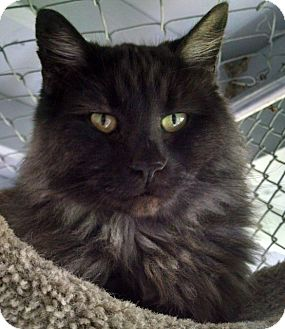 Domestic Longhair Cat for adoption in Grants Pass, Oregon - Stormy
