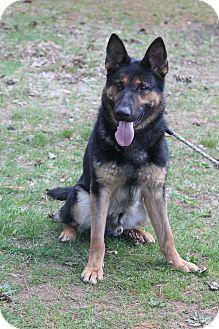German Shepherd Dog Dog for adoption in Bedford Hills, New York - Trooper