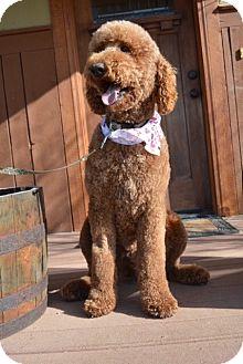 Poodle (Standard) Dog for adoption in Gig Harbor, Washington - Chianti