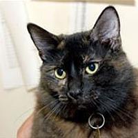 Domestic Mediumhair Cat for adoption in Mountain Home, Arkansas - Bella