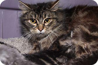 Domestic Longhair Cat for adoption in Marietta, Ohio - Sophie (Spayed)