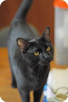 Domestic Shorthair Cat for adoption in Everett, Ontario - Ace