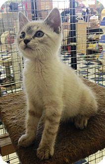 Siamese Kitten for adoption in Redding, California - Tres