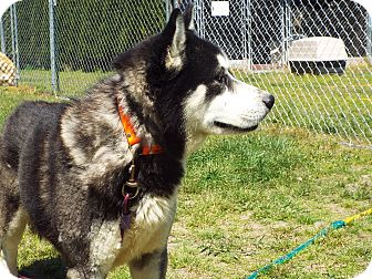 Siberian Husky Mix Dog for adoption in Watha, North Carolina - ACHILLES
