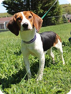 Beagle Mix Dog for adoption in New Oxford, Pennsylvania - Lilac Baby