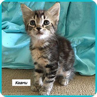 Domestic Shorthair Cat for adoption in Miami, Florida - Keanu
