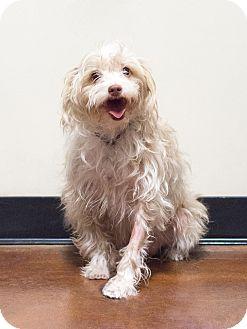 Maltese/Bichon Frise Mix Dog for adoption in Chandler, Arizona - Wilbur