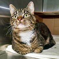 Domestic Mediumhair Cat for adoption in Fredericksburg, Virginia - Mavi